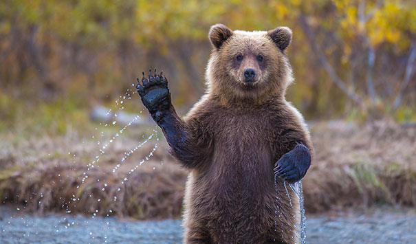 funny-bears-doing-human-things-1