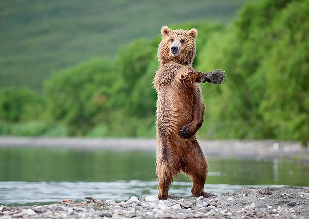 funny-bears-doing-human-things-13