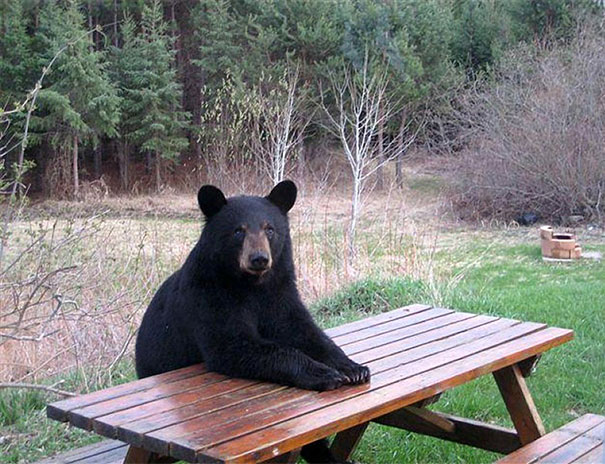 funny-bears-doing-human-things-15