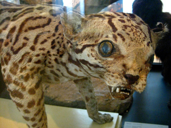 Äkki leopard