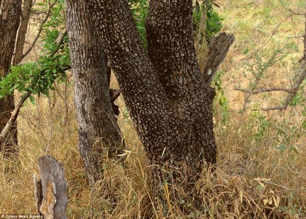1 vaevumärgatav leopard