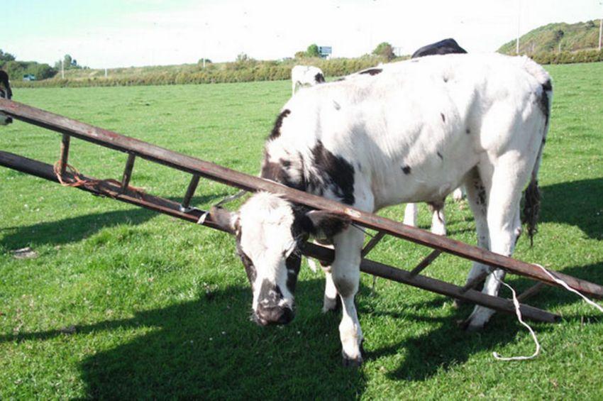 lehmad 9