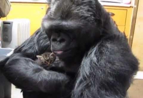 Nad andsid gorillale kassipojad. See, mis juhtus järgmisena, on üliarmas!
