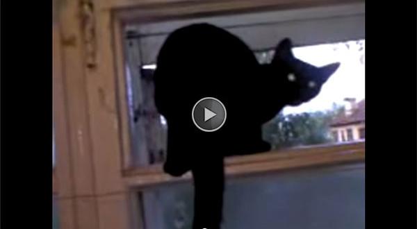haukuv kass
