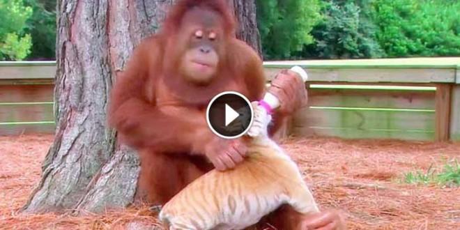 orangutan-tiiger