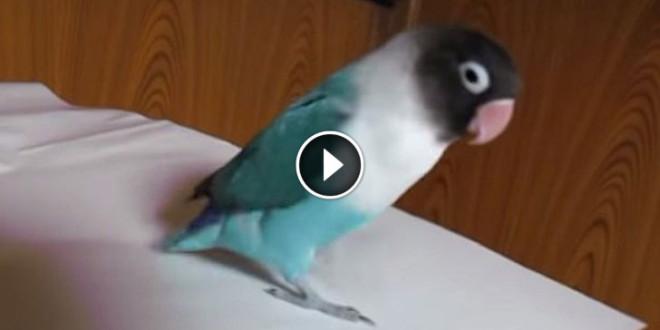 tavaline papagoi